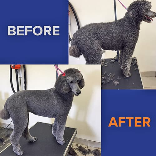 Poodle before and after grooming