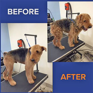 Brown dog before and after grooming