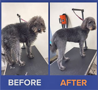 Grey dog before and after grooming